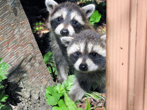 Raccoon cubs peeking out behind a tree Stock Photography