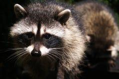 Raccoon curioso Immagini Stock