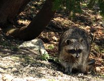 Raccoon. Cute little raccoon resting under a shade tree royalty free stock photo