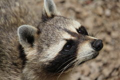 Raccoon. A cute raccoon looking at something Stock Image