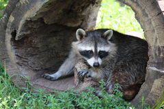 Raccoon. A cute raccoon looks out of a hollow log Royalty Free Stock Photo