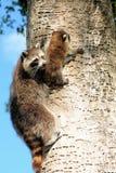 Raccoon da matriz com seu bebê imagem de stock royalty free