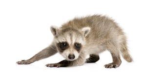 Raccoon del bambino (6 settimane) - lotor del Procyon Immagine Stock Libera da Diritti