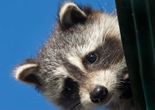 Raccoon del bambino che dà una occhiata dal tetto Fotografia Stock
