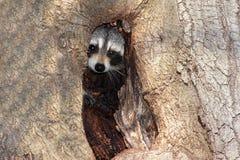 Raccoon del bambino (lotor del Procyon) Fotografia Stock Libera da Diritti
