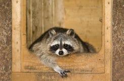 Raccoon di distensione Fotografie Stock