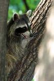Raccoon di sorveglianza Fotografie Stock Libere da Diritti