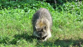 Raccoon Digging Through Grass For Food stock footage