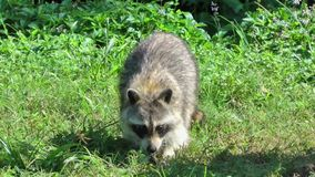 Raccoon Digging Through Grass For Food Stock Photo