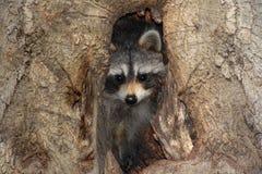 Raccoon do bebê em uma árvore fotografia de stock royalty free