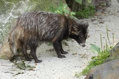 Raccoon dog Royalty Free Stock Photos