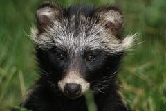 Raccoon Dog. Portrait of a young Raccon Dog stock image