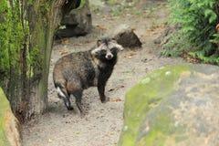Raccoon Dog Royalty Free Stock Photos