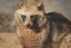 raccoon dog Royalty Free Stock Photography