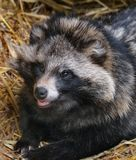 Racoon dog resting in hay bed in zoo cage. royalty free stock photos