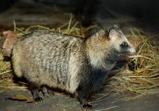 Raccoon Dog Stock Image