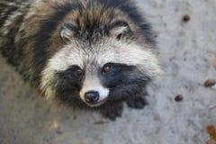 Raccoon dog. Curious Raccoon dog (Nyctereutes procyonoides Stock Photo