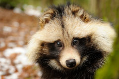 Raccoon dog, cute close-up portrait Royalty Free Stock Photos