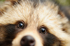 Raccoon dog, cute close-up portrait Stock Photography
