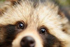 Raccoon dog, cute close-up portrait Stock Photography