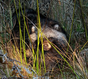 Raccoon dog Stock Photos