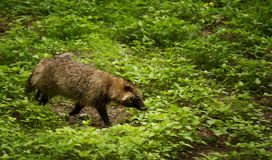 Raccoon dog in the forest in South Korea royalty free stock images