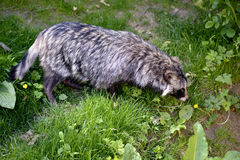 Raccoon dog on grass Royalty Free Stock Photo