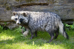 Raccoon dog on grass Royalty Free Stock Images