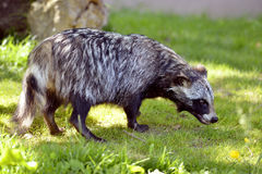 Raccoon dog on grass Royalty Free Stock Photography