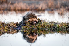 Raccoon Dog on a Hummock on a Swamp. Raccoon Dog Nyctereutes procyonoides is Stock Photography