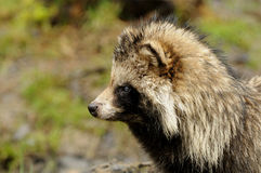 Raccoon Dog (Nyctereutes procyonoides) Royalty Free Stock Images