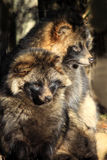 Raccoon Dog Nyctereutes procyonoides stock images