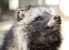 Raccoon dog Stock Photo