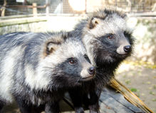 Raccoon dog Stock Images