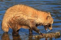 Raccoon Dog Stock Images