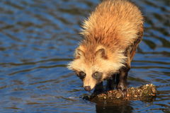 Raccoon Dog. (Nyctereutes procyonoides) in Japan Stock Image