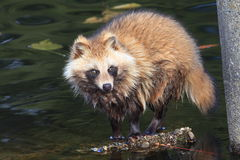Raccoon Dog. (Nyctereutes procyonoides) in Japan Stock Images