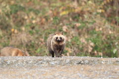 Raccoon Dog. (Nyctereutes procyonoides) in Japan Royalty Free Stock Photo