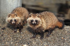 Raccoon Dog. (Nyctereutes procyonoides) in Japan Stock Photography