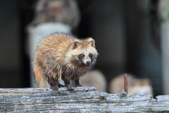 Raccoon Dog Royalty Free Stock Photography