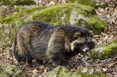 Raccoon dog, Nyctereutes procyonoides Stock Image