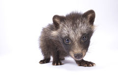 Raccoon dog, Nyctereutes procyonoides stock photography