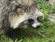 Raccoon Dog portrait Stock Photography