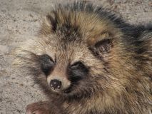 Raccoon dog Royalty Free Stock Image