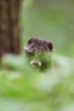 Raccoon dog pup peeking out of the bush Stock Photography