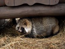 Raccoon Dog Royalty Free Stock Image