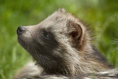 Raccoon dog sniffs. Royalty Free Stock Images