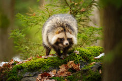 Raccoon dog. Walking in the winter forest royalty free stock photo