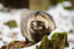 Raccoon dog Royalty Free Stock Photo
