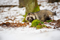Raccoon dog Stock Image